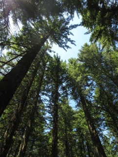 Douglas fir forest, OR, Dr. David Goodrich, NOAA