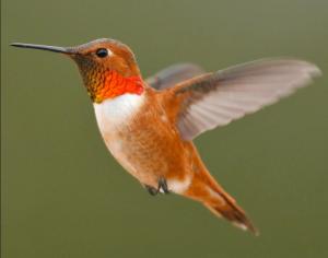 hummingbird, USDA Forest Service