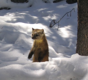 marten, by Nathan Stone, USFS Rocky Mountain Research Station